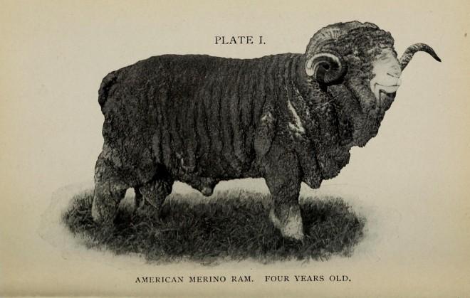 Merino Sheep 2